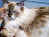 Upcoming Litters Announcement! Purebred Ragdoll Baby