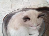 Ragdoll kittens: T.I.C.A. registered. Champion blood