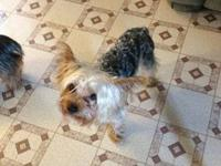 Purebred registered Yorkie male Neutered. 4 years old