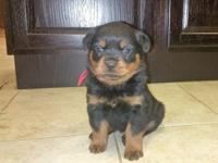 Purebred Rottweiler puppies available.ATTACH your