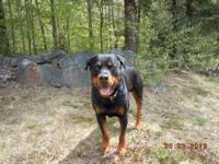 Purebred Rottweiler Puppies for sale! This is a