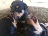 Beautiful, smart, house-raised puppies, ready to go to