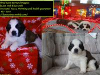 We have adorable purebred Saint Bernard puppies. They