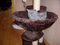 Sweet Beautiful Russian Blue girls born 07.21.2015 and