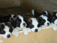 St. Bernard puppies ready to go to their new homes. 4