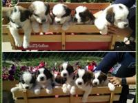 Purebred Saint Bernard puppy for sale. Long and short