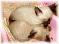 We are siamese if you please.... :) PUREBRED 2 females