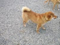 I have a small quality shiba Inu Female Red puppy, she