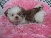 Purebred Shih Tzu female puppy 8 weeks old and ready