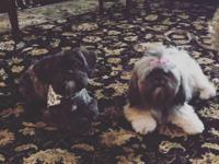 Both parents are purebred shih tzus,Khloe and Montes