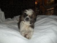 We have one really adorable male Shih Tzu puppy ready