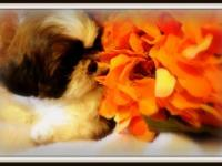 Imperial Shih-Tzu puppies, born July 27, 2013. Mom and