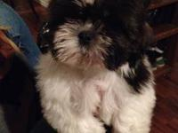 We currently have 4 purebred Shih-tzu puppies that are