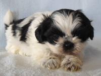 Our litter of purebred, precious Shih Tzu puppies will