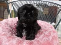 3 adorable little male Shih Tzu puppies 8 weeks old and