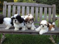 I have a litter of purebred shih tzu puppies male and