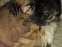 "Adorable, purebred Shih Tzu puppies, one male ""George"","