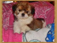 8wk old purebred shih Tzu, too charming for words. last