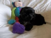 3 purebred Shih Tzu male puppies ready for their new