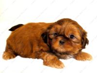 This Red and White purebred Shih Tzu puppy is one of a