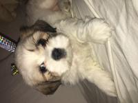 4 beautiful Shihtzu puppies available NOW,Perfect