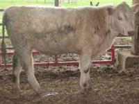 This handsome bull was born 6/6/10. He weighs approx.