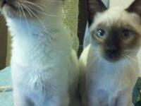 PETS FOR SALE: $350 BORN IN FEBRUARY Purebred Siamese