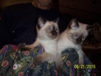 Beautiful and Healthy Siamese Kittens DOB 4/28/15 All