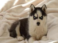 Purebred Siberian Husky Female Pup Blue Eyes, wormed,