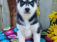 Purebred Siberian Husky puppies available.ATTACH your
