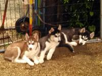 Purebred Siberian Husky Puppies, Black and white Males