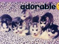 Purebreed siberian husky puppies ready for new home