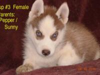 Animal Type: Dogs Breed: Siberian Husky Purebred