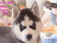 UKC Siberian Husky Pups UKC dogs are transferable into