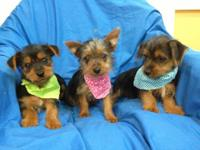 Purebred, registered Silky Terrier, 9 week old puppies.