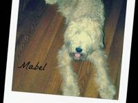 Our purebred Soft coated wheaten terrier (Mabel) is