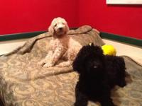 Purebred Standard Poodle Puppies - $400 Now old enough