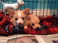 I have two teacup chihuahua young puppies. They are 8