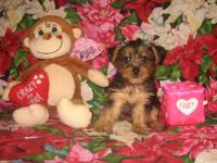 Cute Purebred Teacup Size Yorkshire Terrier (Yorkie)