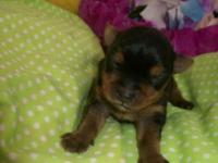 "AKC 4.5 lb. ""Angel"" mated with CKC teacup Biewer Yorkie"
