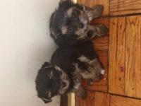 Teacup Yorkshire Terrier owner with a female puppy for