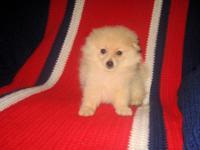Precious Purebred Pomeranian (POM POM) Male Pups! * 9