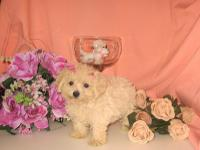 ***One of a Kind Gorgeous Purebred Teeny Tiny Toy