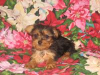 """Gorgeous Purebred Teeny Tiny Toy Yorkshire"