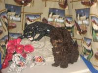 Purebred Tiny Toy Poodle Puppy.. ~ CKC Register ~ 14