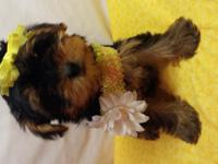 We have two beautiful, Tiny Purebred Yorkie puppies