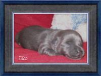 Blue Male Chihuahua pup with fawn colored markings on