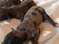 TAKING DEPOSITS ON PUREBRED TOY POODLES BLUE MERLE