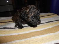 Purebred toy poodle puppies-no papers-do have tails