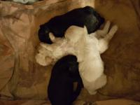 I have 3 purebred toy poodle puppies available for